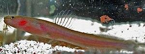 Olyra (fish) - Olyra longicaudata