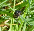 Onthophagus species - Flickr - gailhampshire (1).jpg