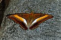 Open wing position of Parasarpa zayla Doubleday, 1848 – Bicolor Commodore WLB DSC 0372.jpg