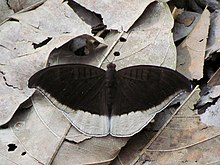 Open wing position of Tanaecia lepidea Butler, 1868 – Grey Count.jpg