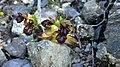 Ophrys speculum3.jpg