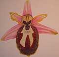 Ophrys splendida DIS01.jpg