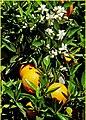 Orange Blossoms 3-16-14 (13644406865).jpg
