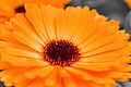 Orange Gerbera Flower Up Close.jpg