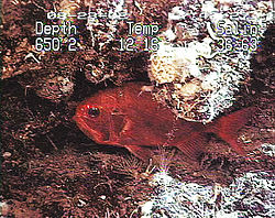 Orange Roughy.jpg