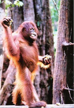 Orangután (Pongo pygmaeus)
