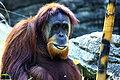 Orangutan 092.jpg