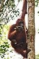 Orangutans in The Rimba Raya Biodiversity Reserve.jpg