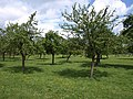 Orchard by the Gloucestershire Way - geograph.org.uk - 1320693.jpg