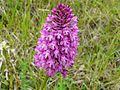 Orchis pyramidal Champcevinel (5).JPG