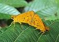 Oriens goloides - Smaller Dartlet Mating 04.JPG