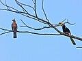 Oriental Pied Hornbill (Anthracoceros albirostris) and Wallace's Hawk-eagle (Nisaetus nanus) (8067809817).jpg