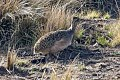 Ornate Tinamou (Nothoprocta ornata) (8077562994).jpg
