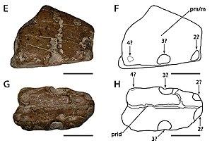 Amblydectes - A. platystomus holotype