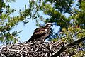 Osprey on Long Lake.jpg