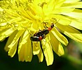 Oulema species.^ Chrysomelidae - Flickr - gailhampshire.jpg
