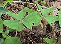Oxalis latifolia 02.JPG
