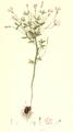 Oxalis versicolor SmSo.png
