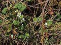 P20130507-0058—Rubus ursinus—Point Reyes (8740931435).jpg
