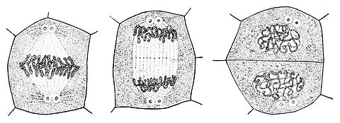 PSM V49 D633 Plant cell in different stages of division.jpg