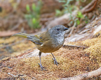 Olive whistler - in South West Tasmania
