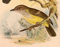 Pachycephala sulfuriventer 1898.jpg