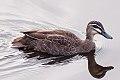 Pacific Black Duck (Anas superciliosa) (8079569226).jpg
