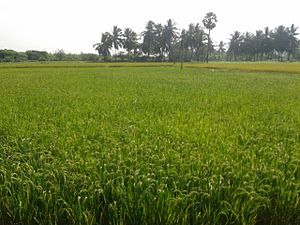Economy of Andhra Pradesh - A view of Paddy field