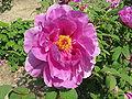 Paeonia suffruticosa cv8.jpg