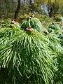 Paeonia tenuifolia 2017-04-20 8146.jpg