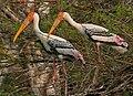 Painted Stork (Mycteria leucocephala) in Garapadu, AP W IMG 5292.jpg