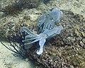 Pair Of Cuttlefish (209677575).jpeg