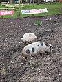 Pair of pet pigs at the pub - geograph.org.uk - 663084.jpg