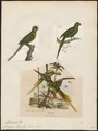 Palaeornis torquatus - 1700-1880 - Print - Iconographia Zoologica - Special Collections University of Amsterdam - UBA01 IZ18500051.tif