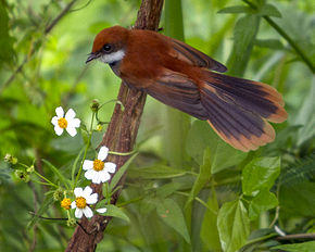 Description de l'image Palau Fantail Rhipidura lepida photographed in Koror Palau in 2013 by Devon Pike.jpg.