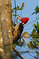 Pale-billed woodpecker001.jpg