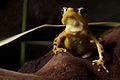 Panamanian golden frog - Atelopus zeteki (12666878944).jpg