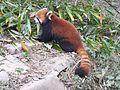 Panda minore.jpg