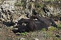 Panthera onca zoo Salzburg 2009 08.jpg