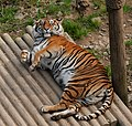 Panthera tigris -Welsh Mountain Zoo, Colwyn Bay, Wales-8a.jpg