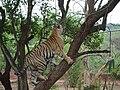 Panthera tigris in Nandankanan Zoo 05.jpg