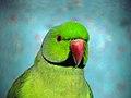 Papageien طوطی 12.jpg