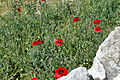 Papaver rhoeas 3 (8424221358).jpg