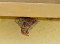 Paper Wasps (Polistes fastidiosus) on nest (13780259093).jpg