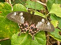 Papilio polytes (Common Mormon) from Chalavara; female, form romulus.jpg