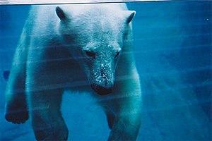 Vue aquatique d'un ours polaire au Parc-aquarium du Québec.