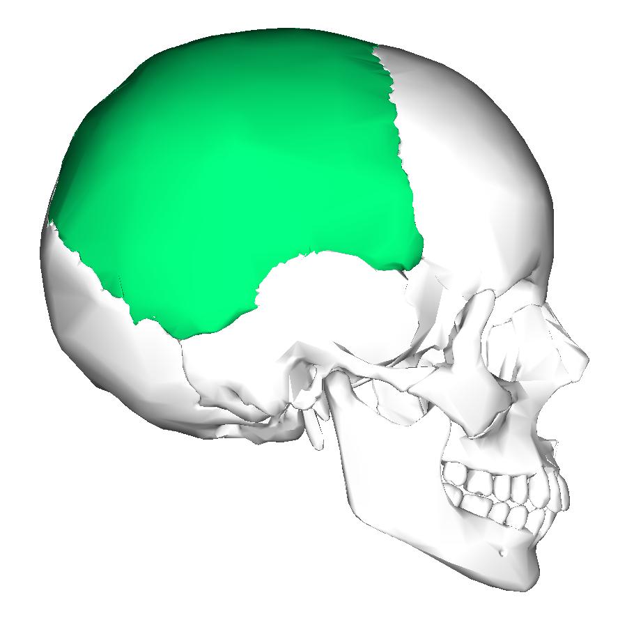 Parietal bone lateral