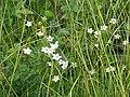 Parnassia palustris4798.JPG