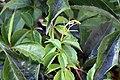 Parthenocissus quinquefolia 15zz.jpg