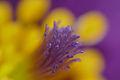 Pasque Flower (Pulsatilla vulgaris) pistil close-up (17208125062).jpg